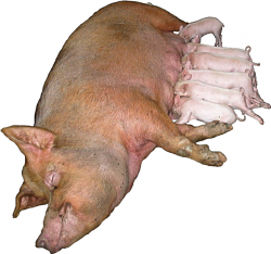 schweine kastrieren bis 2017